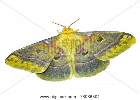 Butterfly (saturnidae)