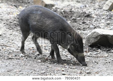 Small Wild Pig