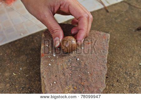 Human cracking macadamia nuts