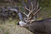 image of deer rack  - adult male mule deer with a nice rack in Zion NP Utah - JPG