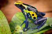 pic of poison dart frogs  - poison dart frog - JPG