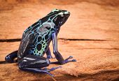 foto of poison dart frogs  - poison dart frog - JPG