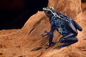 stock photo of poison dart frogs  - poison dart frog - JPG