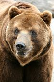 picture of bear  - Male Kamchatka brown bear  - JPG