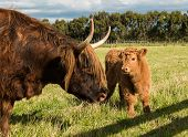 picture of highland-cattle  - Highland brown cow with her young calf - JPG