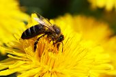 foto of honey-bee  - close up view of bee on dandelion at work - JPG