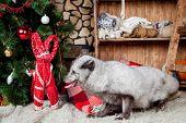 image of arctic fox  - Pretty gray arctic fox in christmas or new year - JPG