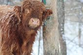 image of highland-cattle  - scottish highland calf rubbing, looking at you
