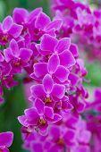 stock photo of orquidea  - Pink Orchids in the garden  - JPG