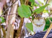 picture of chipmunks  - A Chipmunk perched on a tree stump - JPG