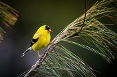 foto of goldfinches  - An American Goldfinch perches on a pine branch - JPG