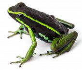 picture of poison dart frogs  - frog Amazon rainforest Peru - JPG
