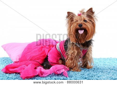 Cute Yorkshire terrier dog on blue carpet isolated on white