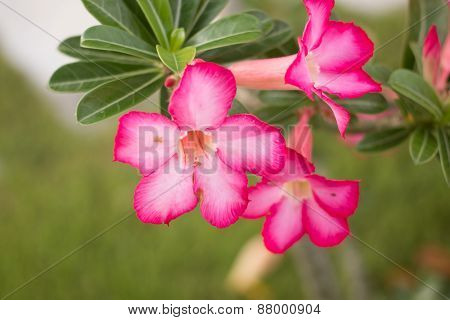 Desert rose, Impala Lily