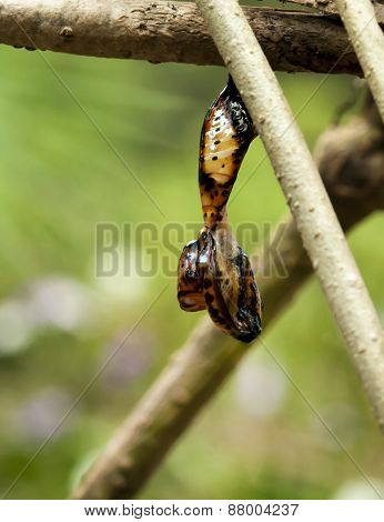 Red Lacewing butterfly , Cethosia biblis, Pupa, chrysalis