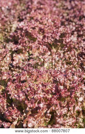 Red Lettuce Leaf Background.