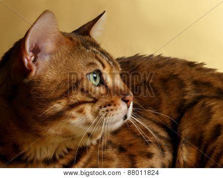 Closeup Profile Bengal Cat