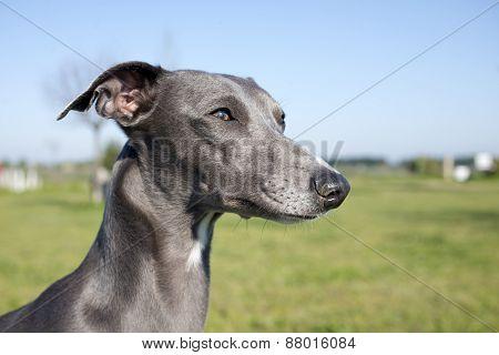 Gray Whippet