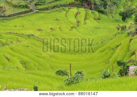 Terraced Rice Field Ready For Harvesting In The Himalayas, Nepal