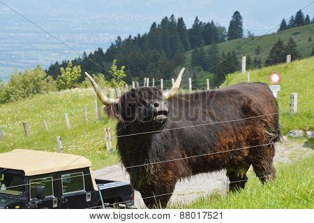 bull on Appenzell