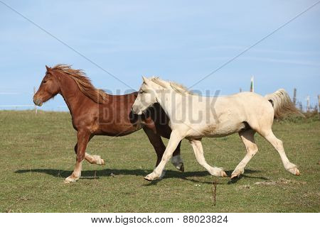 Two Young Ponnies Running On Pasturage Together