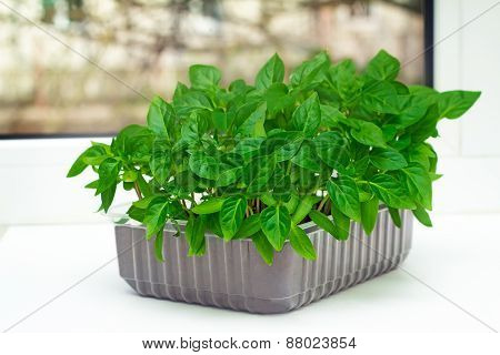 Seedlings Of Sweet Pepper In The Container Of Land.