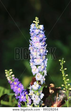 Delphinium,Candle Delphinium,English Larkspur,Tall Larkspur