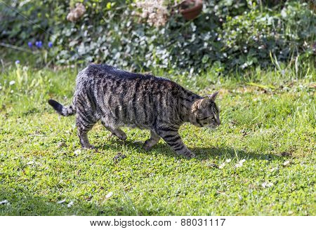 Tiger Cat Strolls Around In The Garden Under The Sun
