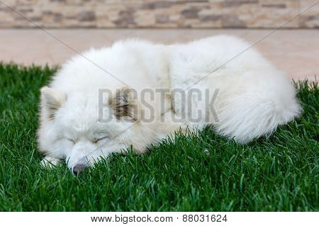 Samoyed Breed Dog Sleeping On Grass