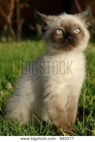 The Siamese Kitten