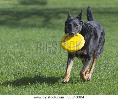 German Shepherd Dog With Yellow Frisbee Running In The Grass
