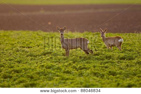 Roe Buck Couple