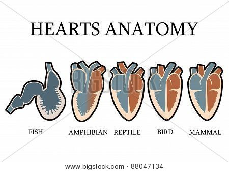 Comparison of cardiac anatomy of vertebrates