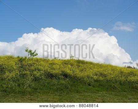 Canola Hill