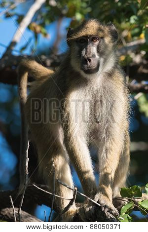 Yellow Baboon (papio Cynocephalus) Standing In A Tree