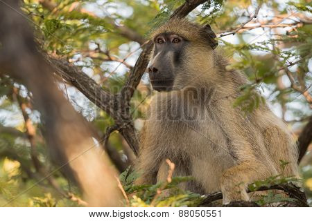 Yellow Baboon (papio Cynocephalus) Sitting In The Canopy