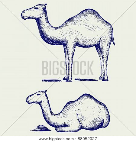 Standing and lying camels