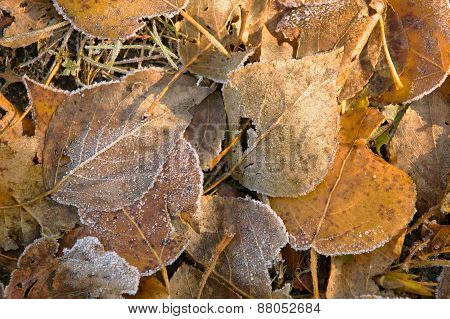 Fallen yellow leaves covered with rime