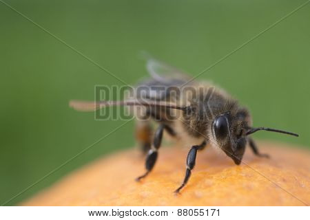 Bee On Orange Isolated