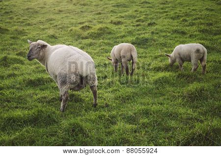 Three Sheep In A Meadow.