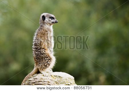Meerkat Guarding The Territory On The Rock