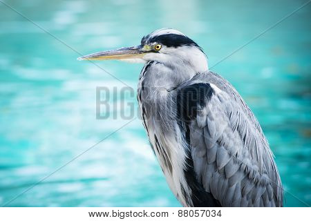 Heron Waiting For A Fish In The Lake