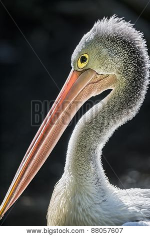 Portrait Of Australian Pelican