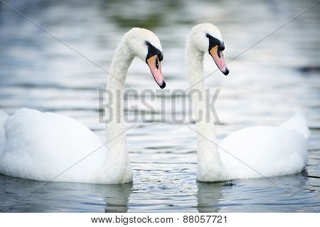 Swan Swimming In The Lake