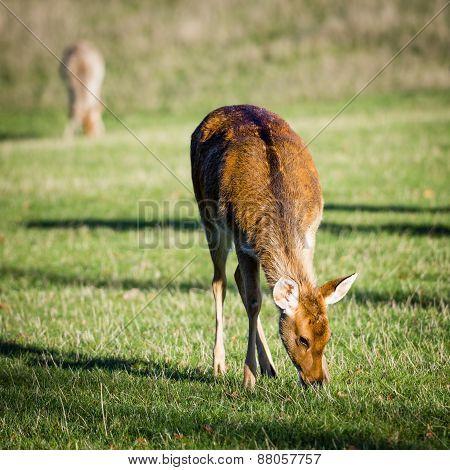 Deer Grazing In The Wild