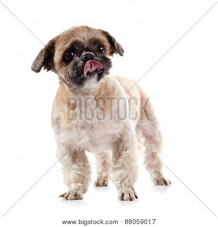 Decorative Licking Lips Doggie Of Breed Of A Shih-tzu