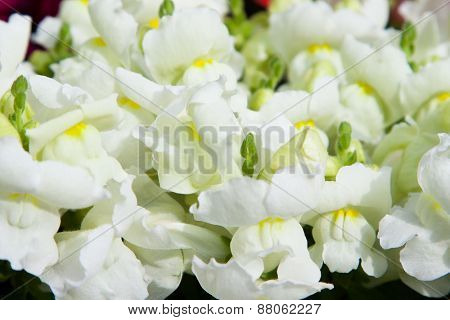 gardening, botany and flora concept - beautiful white flowers at summer garden