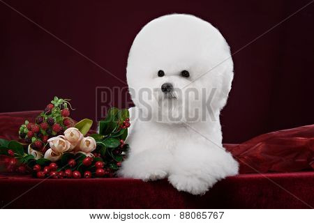 Portrait Of The Bichon Dog With White Fur