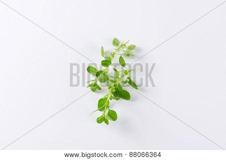 fresh oregano leaves on white background