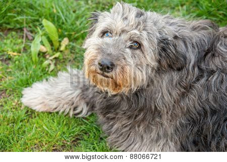 Portrait Of Shaggy Gray Dog Thrown In The Street